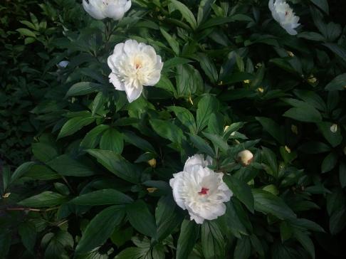 Peonies in Bloom.